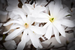 White Magnolia flowers Royalty Free Stock Images