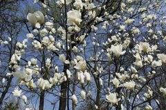 White magnolia flowers on a tree in a park in early spring stock images