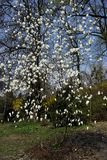 White magnolia flowers on a tree in a park in early spring royalty free stock image