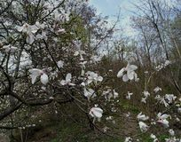 White magnolia flowers on a tree in a park in early spring stock photo