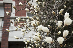 White magnolia flowers on tree Royalty Free Stock Photography