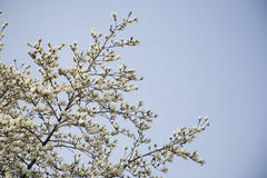 White magnolia flowers on tree Royalty Free Stock Photo