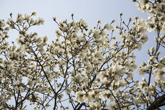 White magnolia flowers on tree Stock Photos