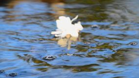 White Magnolia flowing down the creek. White Magnolia Flower flowing down the river stock video