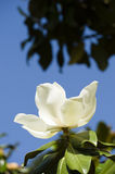 White Magnolia grandiflora flower Stock Photography