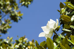 White Magnolia grandiflora flower Stock Photography