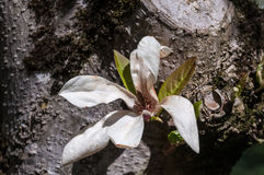 White magnolia Royalty Free Stock Photography