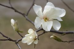 White magnolia. Spring flowers and buds. Blooming garden royalty free stock photography
