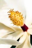 White magnolia stamen Stock Photos