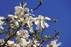 White magnolia stellata blossom. Magnolia stellata branches covered with white flowers over bright blue sky on a sunny day Stock Image