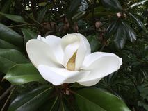 White Magnolia Summer Blooming til Fall stock photos
