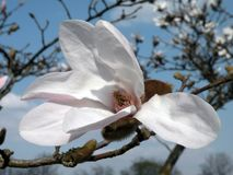 Magnolia tree blooms in spring, Lithuania Royalty Free Stock Photo