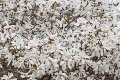White magnolia tree blossom Stock Images