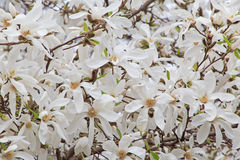 White magnolia tree blossom Royalty Free Stock Photo