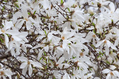 White magnolia tree blossom Stock Photos