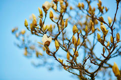 White magnolia tree blossom Stock Photo
