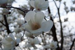 White magnolia flower in bloom royalty free stock images