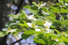 White Magnolia Tree Flowers Stock Photos