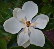 White magnolia on tree. A white magnolia on a green tree on a summer evening in Texas stock photo