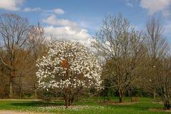White magnolia tree Royalty Free Stock Photo