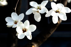 White Magnolias Royalty Free Stock Images