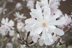 White Magnolias. White Magnolia flowers during Spring Stock Photography