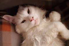 White maincoon Stock Images