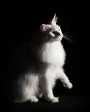 White Maine Coon Royalty Free Stock Photos