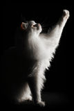 White Maine Coon Royalty Free Stock Images