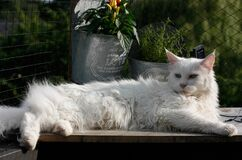 White Maine Coon Royalty Free Stock Photography