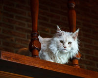 White Maine Coon cat on antique looking stairs Royalty Free Stock Photos