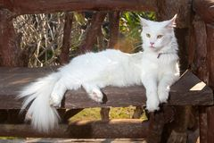 White Maine Coon Cat on the bench Stock Photo