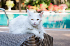 White maine coon cat female lays on sun bed nearby Royalty Free Stock Photo