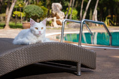 White maine coon cat female lays on sun bed nearby Royalty Free Stock Images