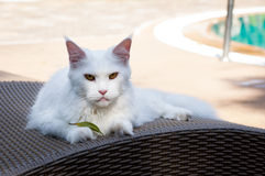White maine coon cat female lays on sun bed nearby Stock Photography