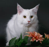 White maine-coon cat over black. Royalty Free Stock Images
