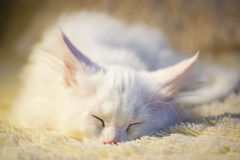 White maine coon kitten sleeps Stock Image