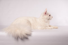 White mainecoon portrait Royalty Free Stock Image