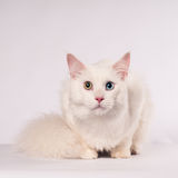 White mainecoon portrait Stock Image