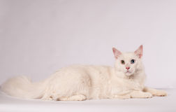 White mainecoon portrait Royalty Free Stock Photos