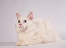 White mainecoon portrait Stock Photos