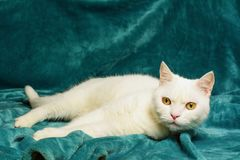 White male cat is lying on aquamarine blanket. Selective focus. Stock Photo