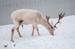 White male deer Stock Images