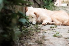 White male dog sleeping. White male dog tired by sick, pet lying and sleeping oudoor Royalty Free Stock Images