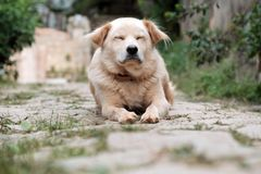 White male dog tired by sick stock photos