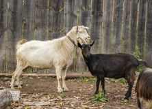 White male goat with a black female goat. Stand near a wooden fence Royalty Free Stock Images