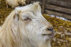 White male goat royalty free stock image
