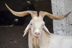White male goat in the farm Royalty Free Stock Photo