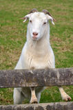 White male Goat Royalty Free Stock Images