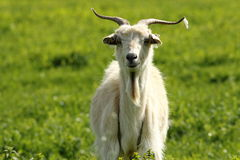 White male goat Royalty Free Stock Photo